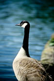Canada Geese -103