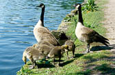 Canada Geese -105