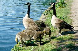 Canada_Geese_-105.jpg