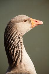 Goose,_Greylag,_Oxford_-024.jpg
