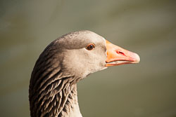 Goose,_Greylag,_Oxford_-025.jpg