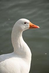 Goose,_Greylag,_Oxford_-054.jpg