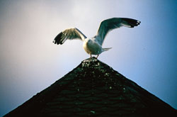 Gull_014.jpg