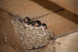 House_Martin_chicks_-012.jpg