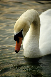 Mute_Swan_005.jpg