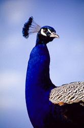 Peacock_009.jpg