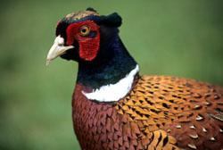 Pheasant_018.jpg