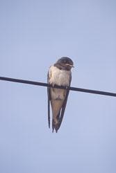 Swallow_002.jpg