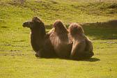 Camel, Bactrian 005