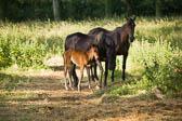 Foal & Mare 028
