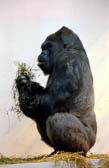 Gorilla 985
