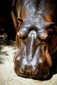 Hippopotamus 002
