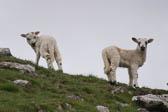 Lambs -101