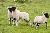 Lambs -102
