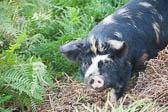 Pig203