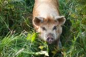Pig204