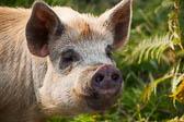 Pig208
