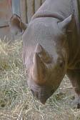 Rhinoceros 004