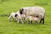 Sheep 003