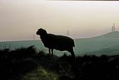 Sheep 012-2