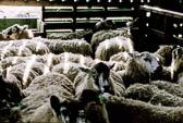 Sheep 025-2