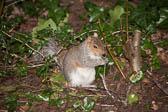 Squirrel, Grey 012
