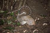 Squirrel, Grey 016