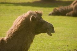 Camel,_Bactrian_006.jpg
