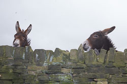 Donkeys-003.jpg