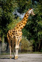 Giraffe_001.jpg