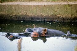 Hippopotamus_001.jpg