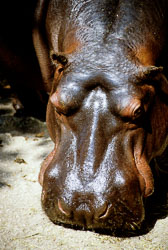 Hippopotamus_002.jpg