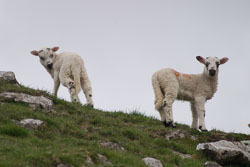 Lambs_-101.jpg