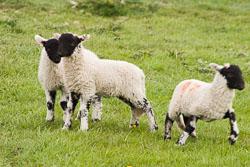 Lambs_-102.jpg