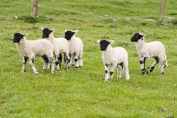 Lambs_-103.jpg