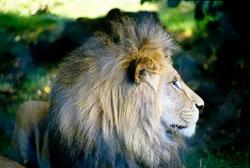 Lion_001.jpg