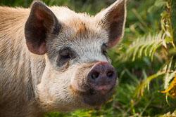 Pig208.jpg