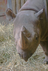 Rhinoceros_004.jpg
