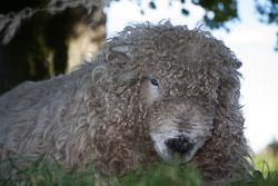 Sheep_-405.jpg