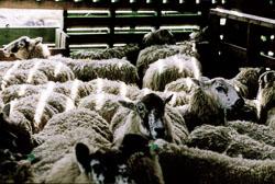 Sheep_025-2.jpg