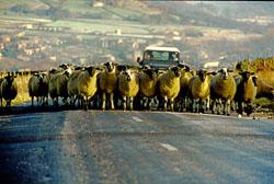 Sheep_029.jpg