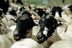 Sheep_031.jpg