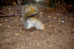 Squirrel,_Grey_009.jpg