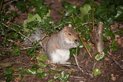 Squirrel,_Grey_012.jpg