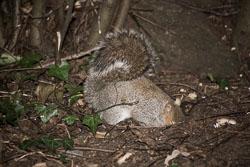 Squirrel,_Grey_016.jpg