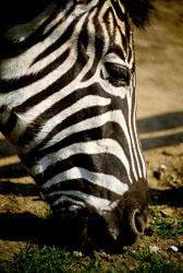 Zebra_001.jpg