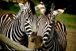 Zebra_002.jpg