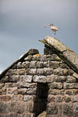 Curlew On Roof, Hebden Walk -009