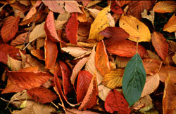 Autumn_Leaves,_1.jpg