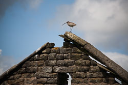 Curlew_On_Roof,_Hebden_Walk_-005.jpg